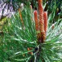 Aromatherapy Essential Oil Pine